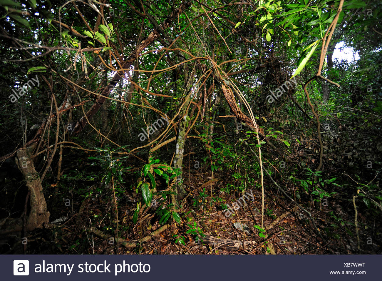 creepers in rainforest of New Caledonia, New Caledonia, Ile des Pins - Stock Image