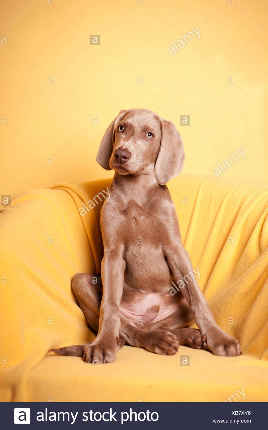 Weimaraner sitting in an armchair - Stock Image