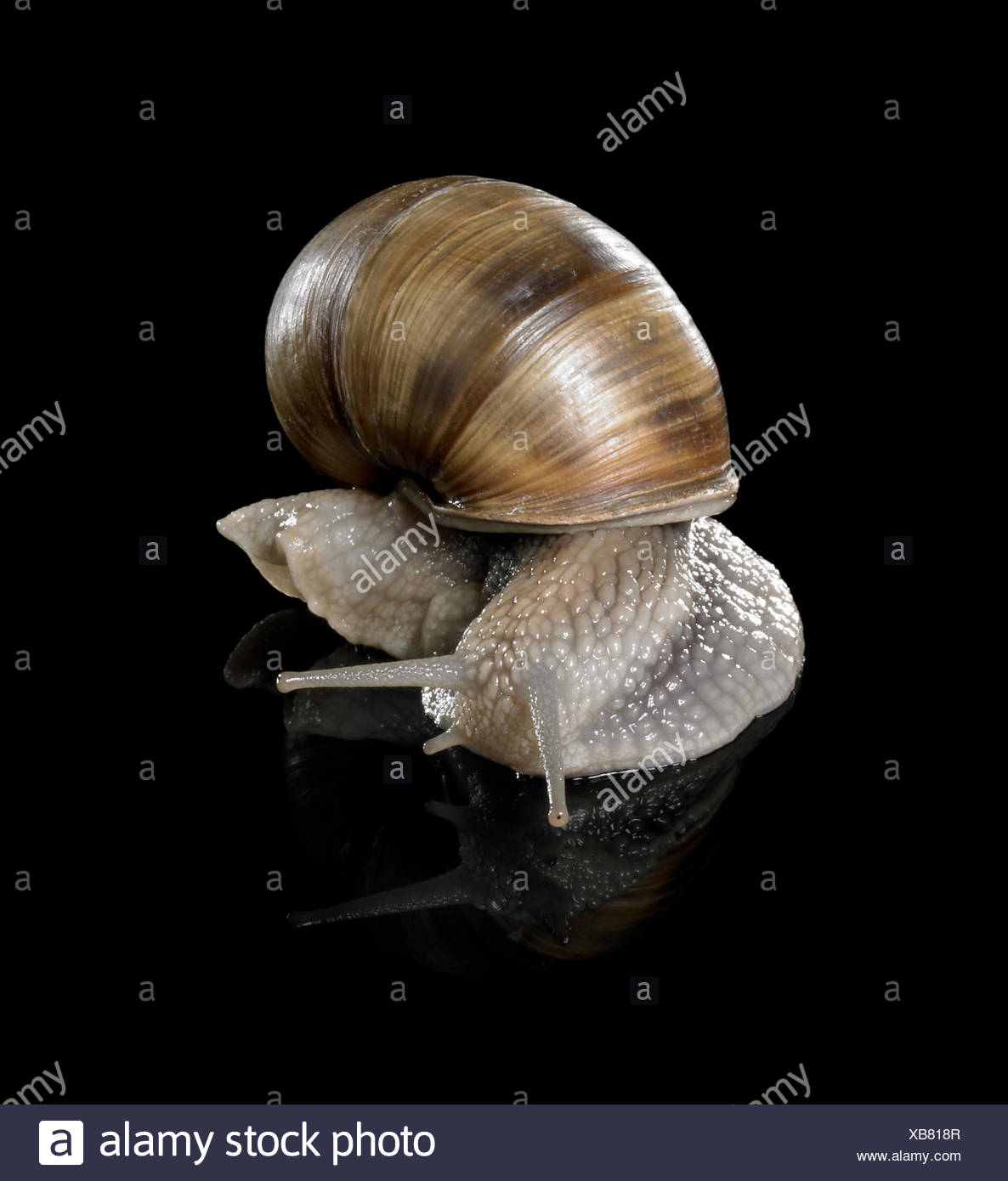 studio photography of a Grapevine snail creeping in black reflective back Stock Photo