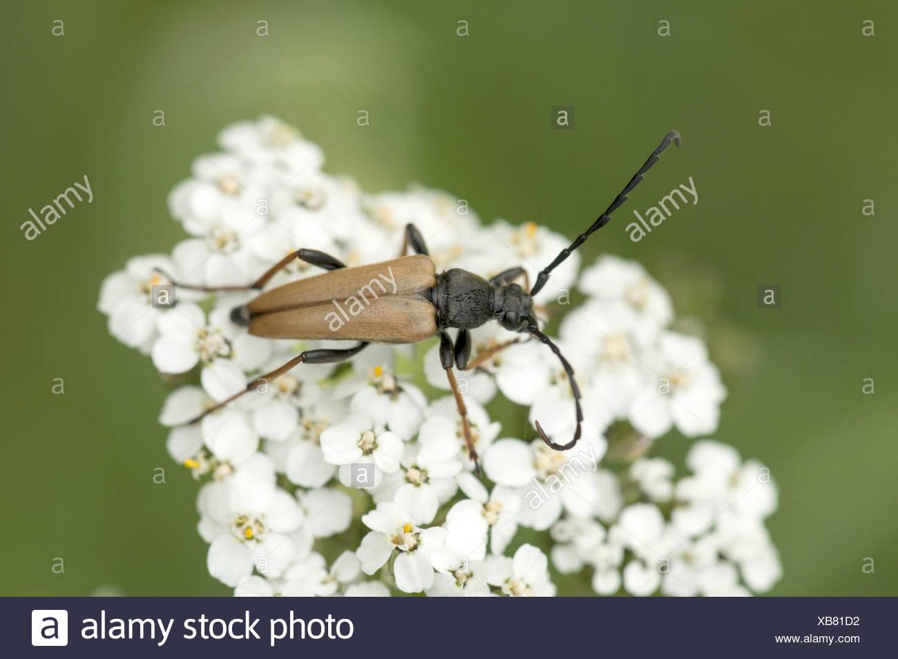 Longhorn Beetle (Stictoleptura rubra) - Stock Image