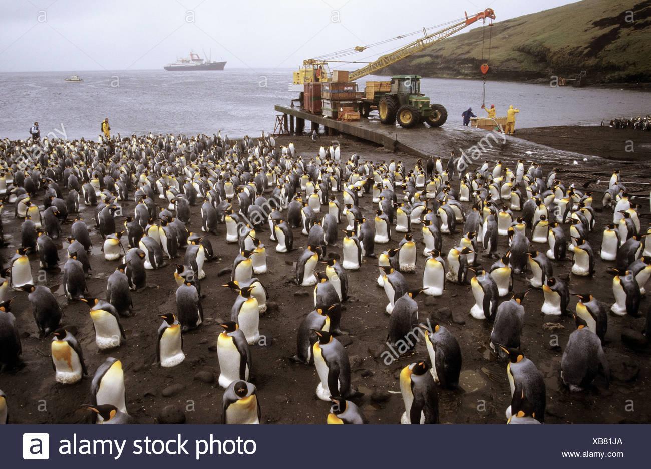 King penguin colony on the wharf of Possession Island (Aptenodytes patagonica), Crozet islands, sub-antarctic - Stock Image
