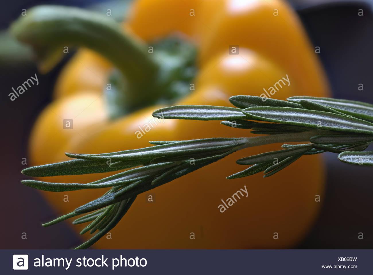 Fresh Rosemary Twig - Stock Image