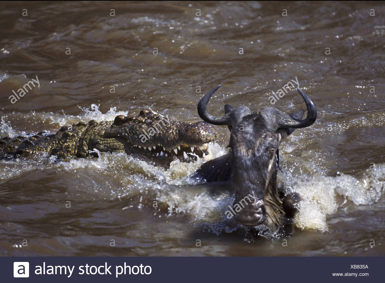 Crocodile attack on wildebeest Mara River Africa - Stock Image