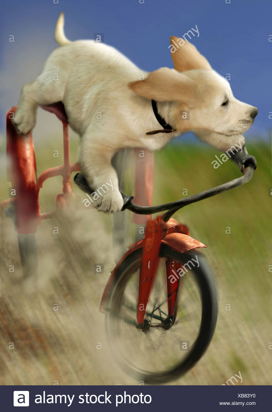 Golden Retriever - puppy on bike Stock Photo: 282305828 - Alamy