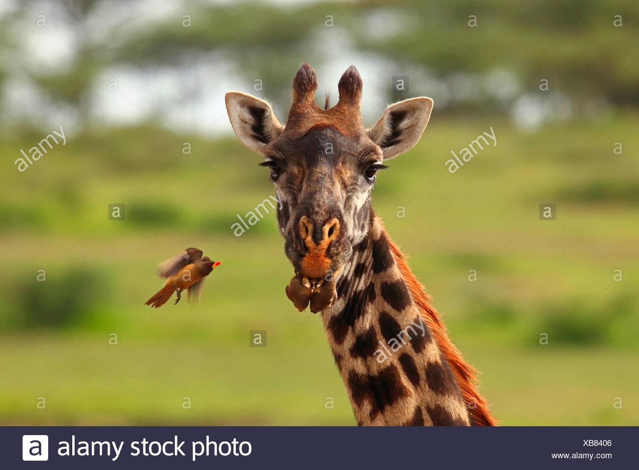 giraffe (Giraffa camelopardalis), red-billed oxpecker, Tanzania, Ngorongoro Conservation Area - Stock Image
