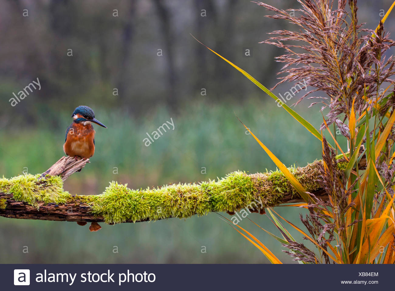 river kingfisher (Alcedo atthis), on its outlook, Switzerland - Stock Image