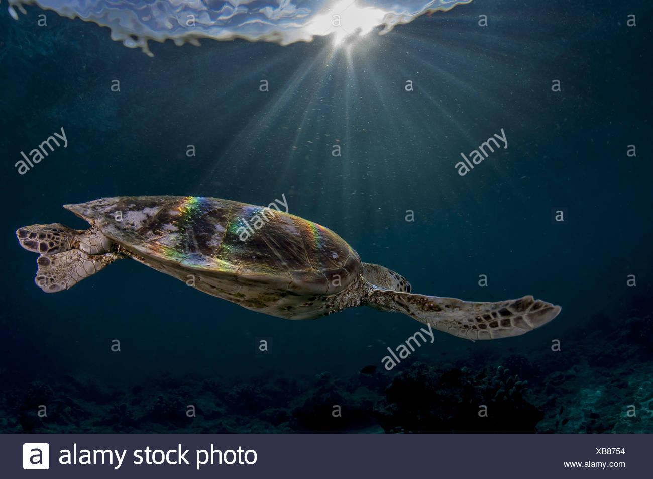 Green Sea Turtle, Sipdan island Malaysia (Chelonia mydas) Stock Photo