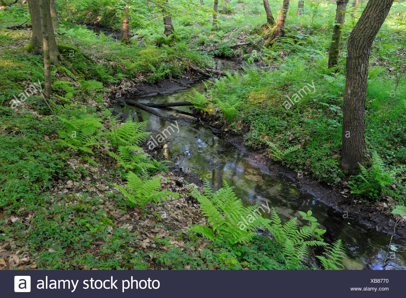 Brook in beech forest, Bottrop, North Rhine-Westphalia, Germany - Stock Image
