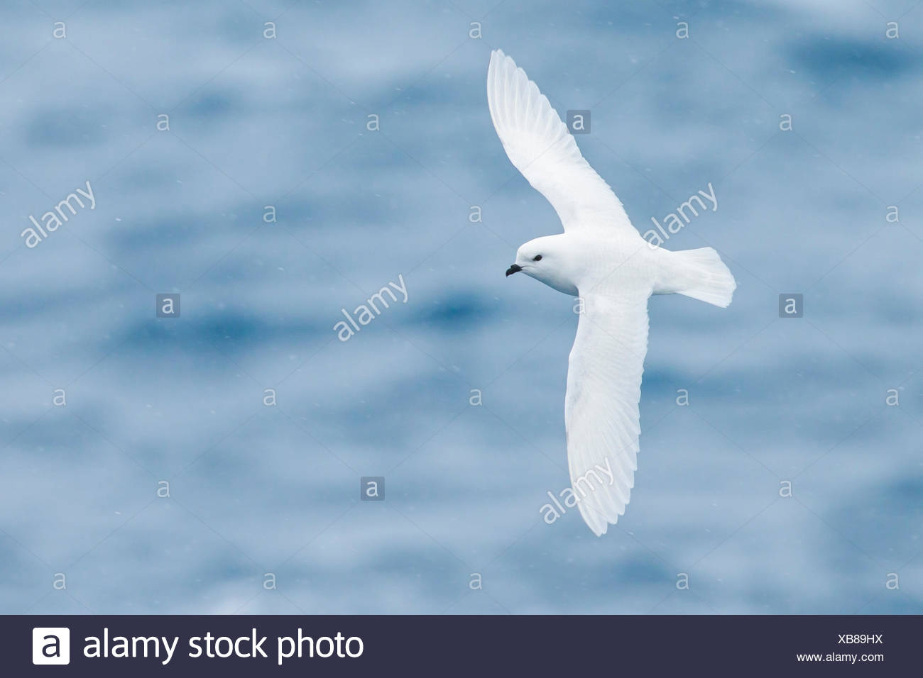 Snow Petrel (Pagodroma nivea) flying over the ocean searching for food near South Georgia Island. Stock Photo