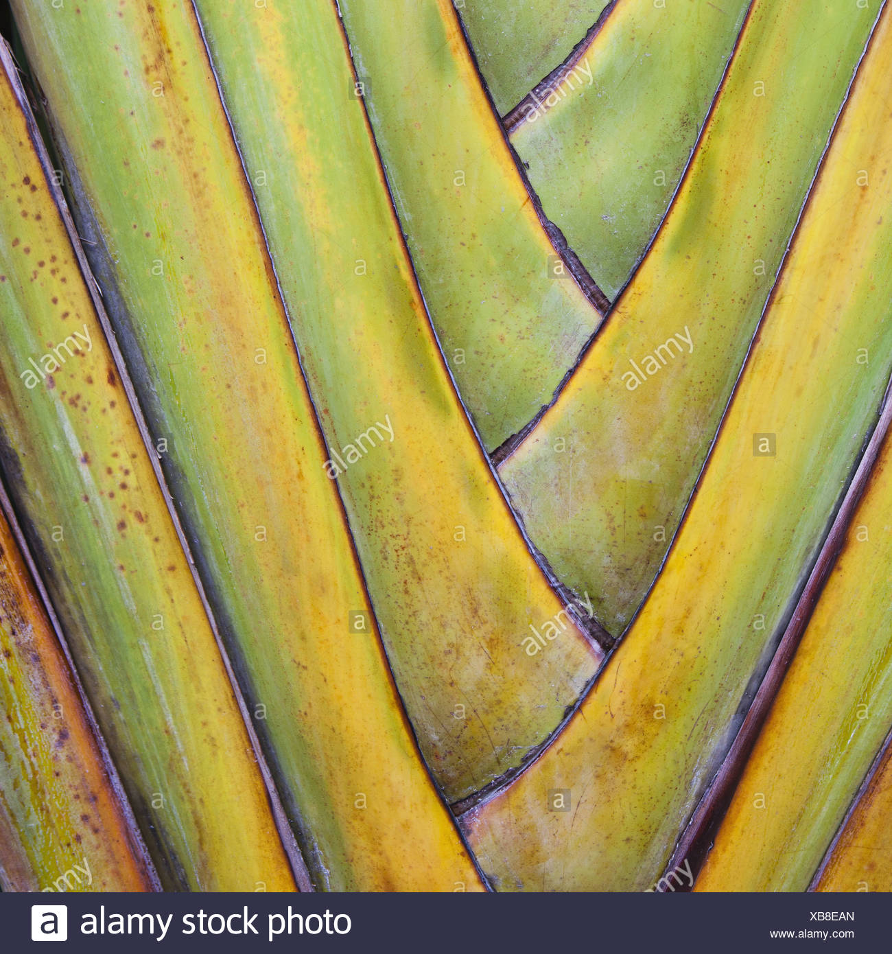 Tulum Mexico. Traveller's Palm or fan palm tree leaf stems - Stock Image