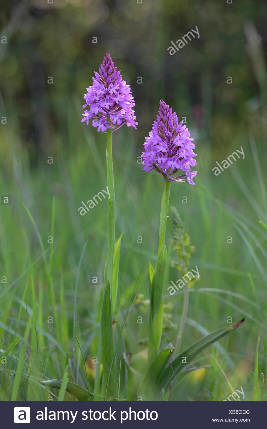 Pyramidal orchid (Anacamptis pyramidalis), flowering, Orchideenparadies Wasserliesch, Moselle, Rhineland-Palatinate, Germany Stock Photo