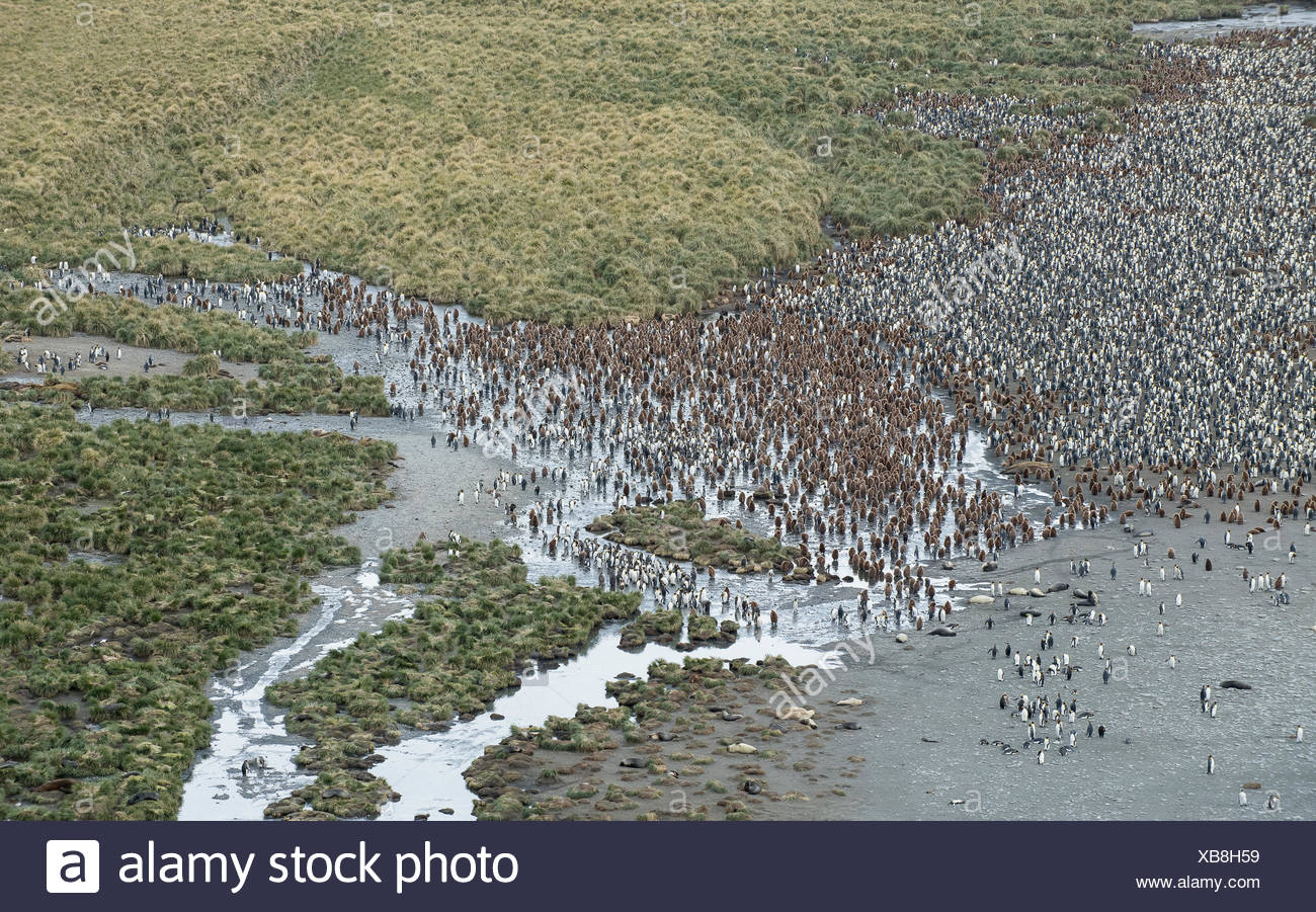 Aerial view of the large king penguin colony at Gold Harbor. - Stock Image