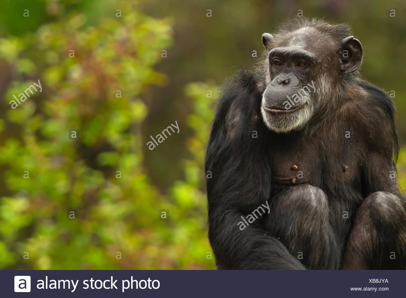 Chimpanzee Usa Stock Photos Amp Chimpanzee Usa Stock Images