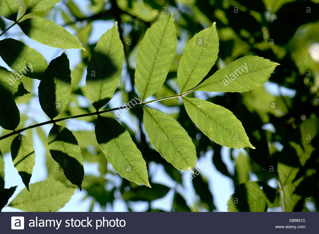 Young leaves of ash Fraxinus excelsior backlit by sunlight - Stock Image