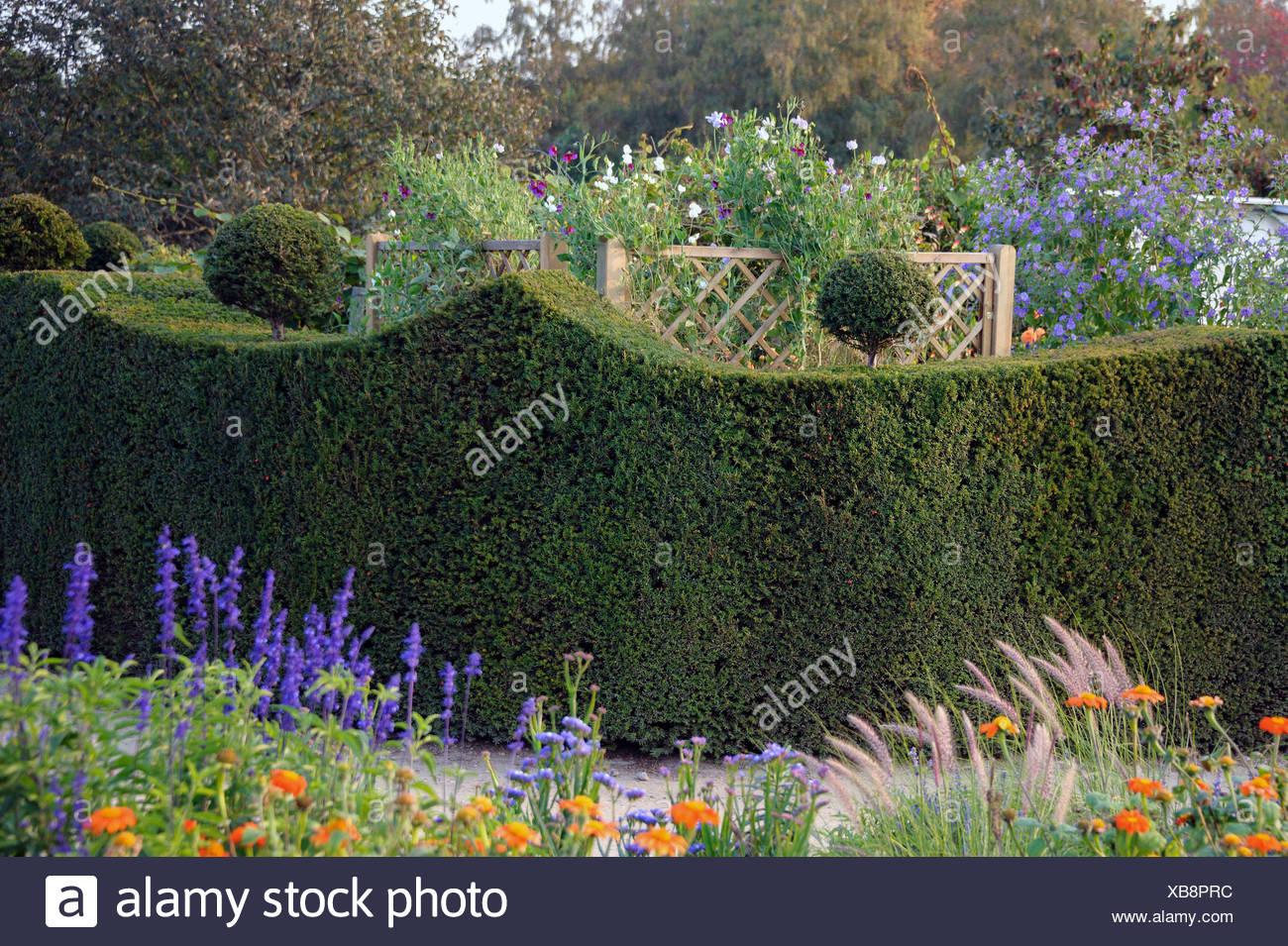 common yew (Taxus baccata), yew hedge, Germany - Stock Image