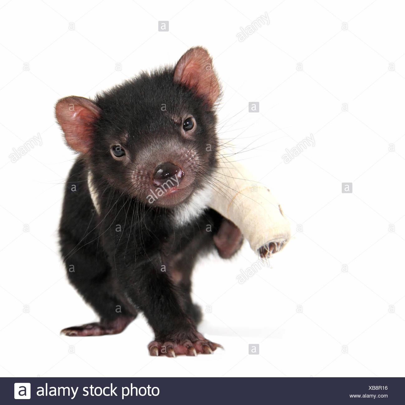 Tasmanian Devil (Sarcophilus harrisii), joey with bandage around injured leg - Stock Image