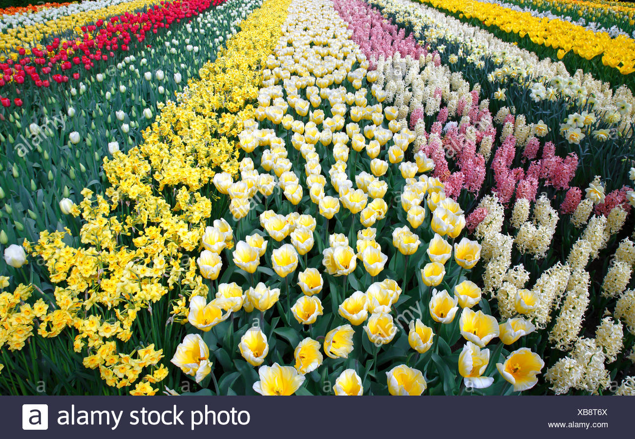 Colorful flower bed with spring flowering plants, blooming Tulips (Tulipa), Daffodils (Narcissus) and Hyacinths (Hyacinthus) - Stock Image