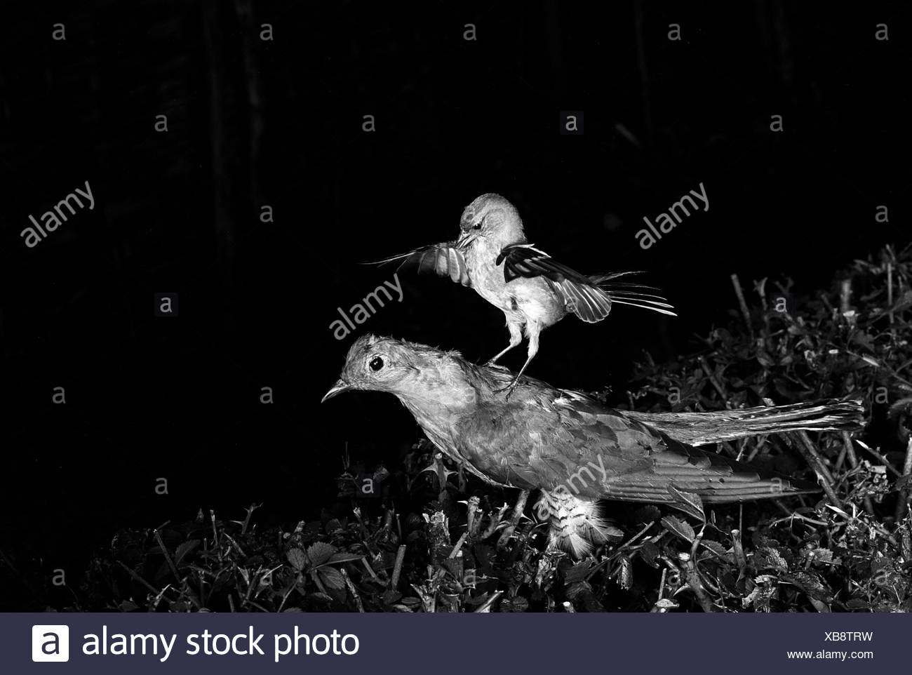 Chaffinch attacking a stuffed Cuckoo Staverton 1948. Photographed by Eric Hosking using a High Speed Flash unit to stop - Stock Image