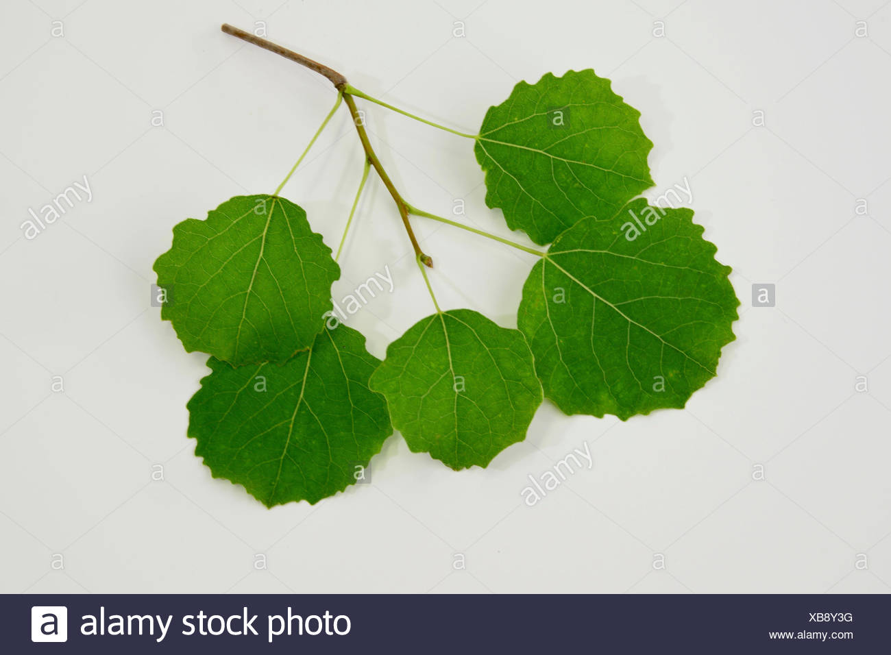 Aspen (Populus tremula), twig with fresh leaves, studio picture. - Stock Image