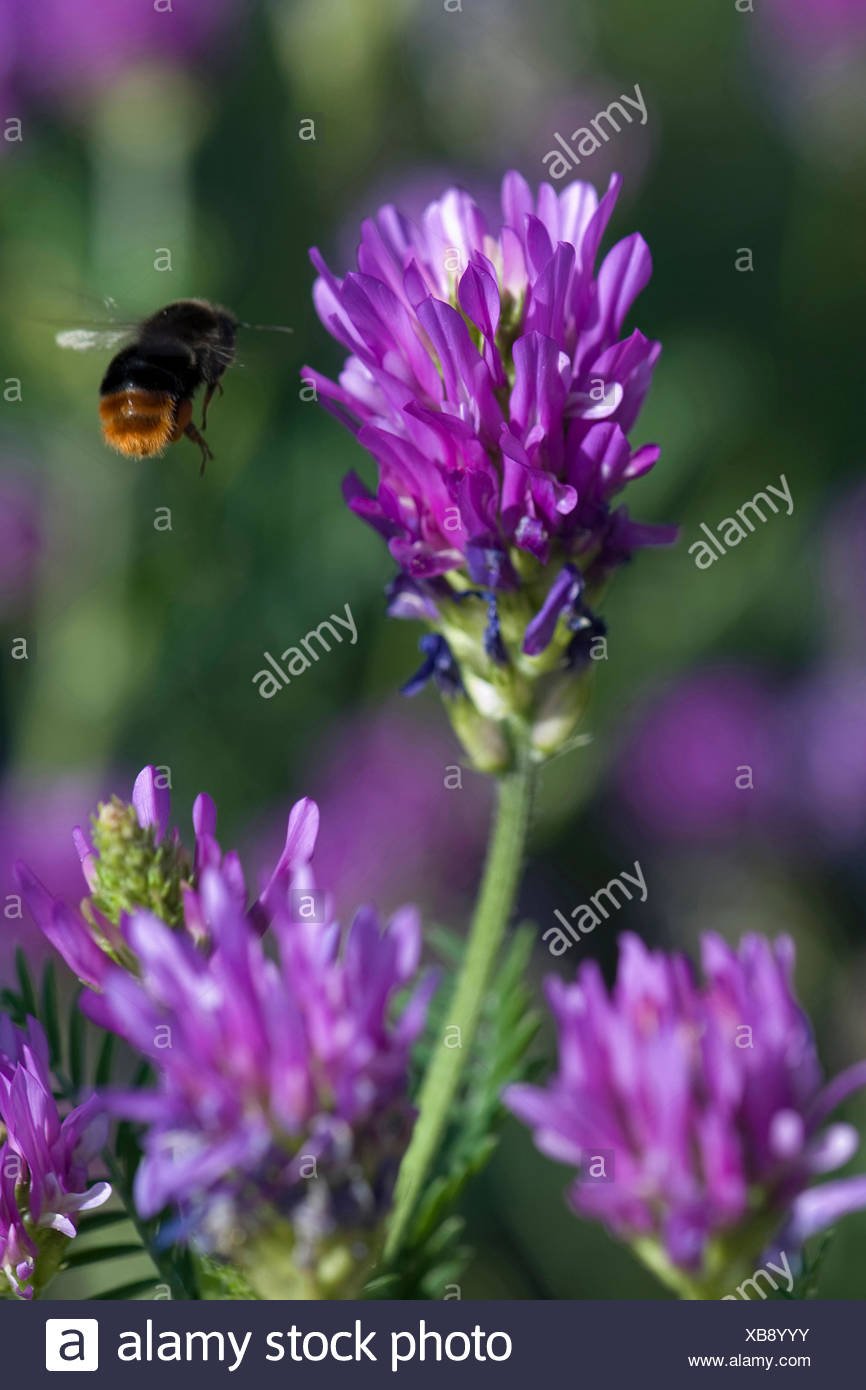 Sainfoin milkvetch (Astragalus onobrychis), inflorescence with approaching humble bee - Stock Image