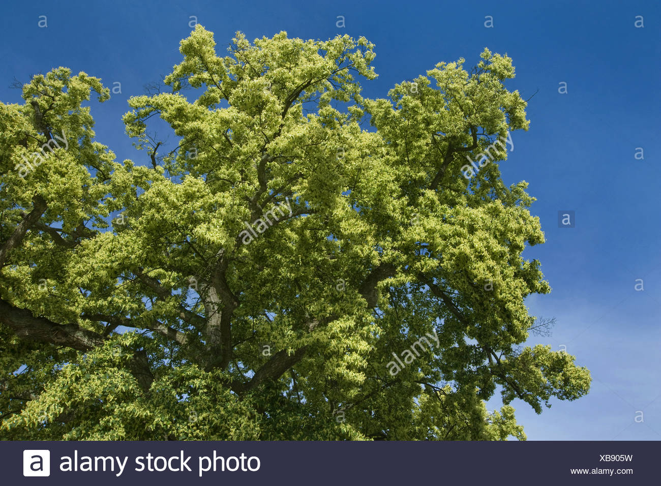 large-leaved lime, lime tree (Tilia platyphyllos), blooming, Germany - Stock Image