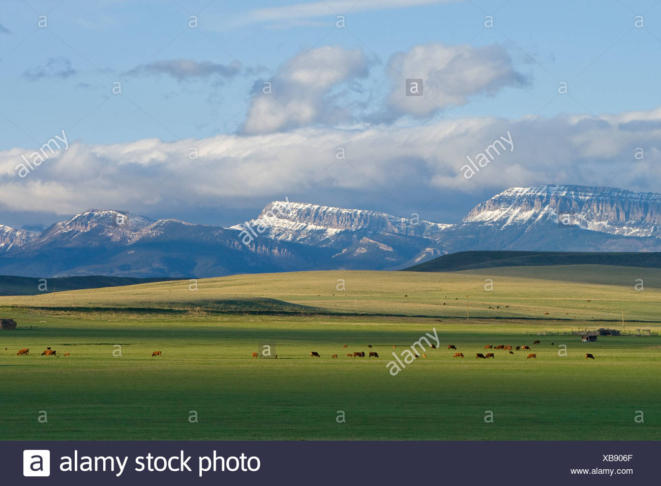 Beef cattle graze on healthy lush spring grass with the Sawtooth Ridge in the background / near Augusta, Montana, USA. - Stock Image