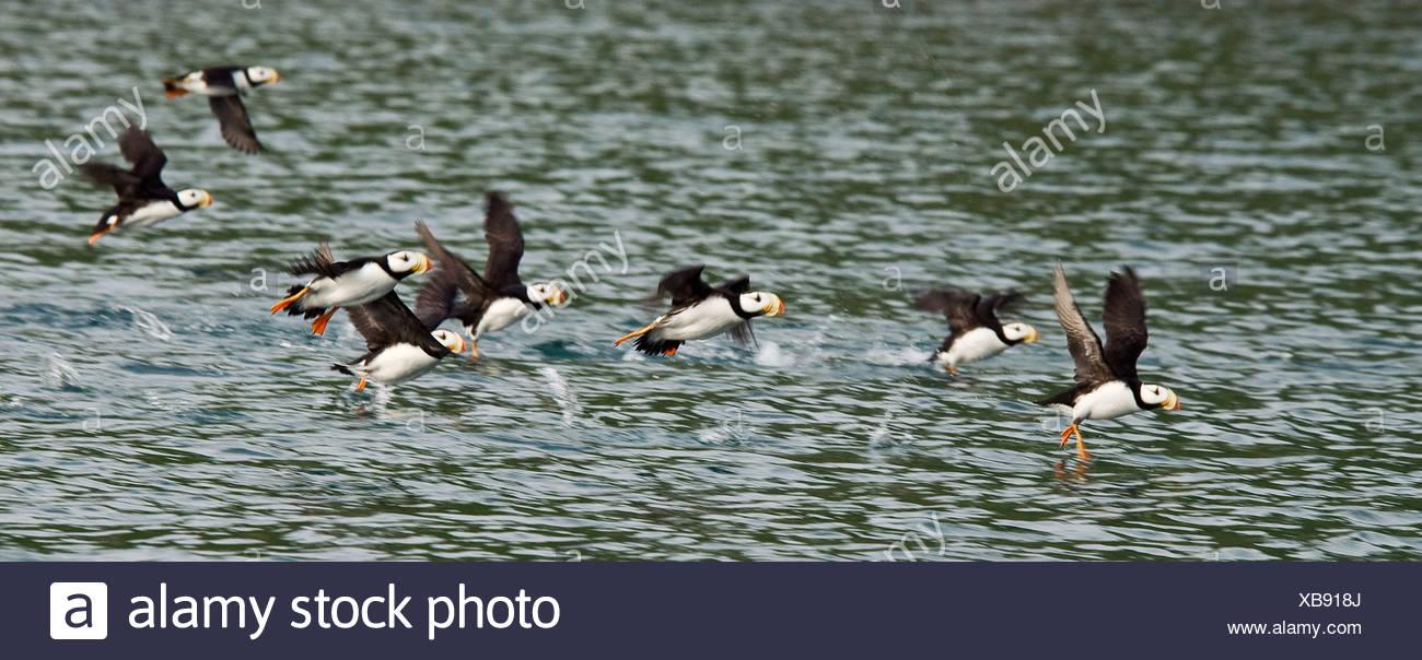 A flock of Horned Puffins take flight over Hallo Bay, Katmai National Park, Alaska, Summer - Stock Image