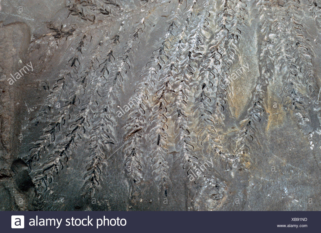 Walchia piniformis, fossil conifer, branch, Roliegend, Germany, Rhineland-Palatinate - Stock Image