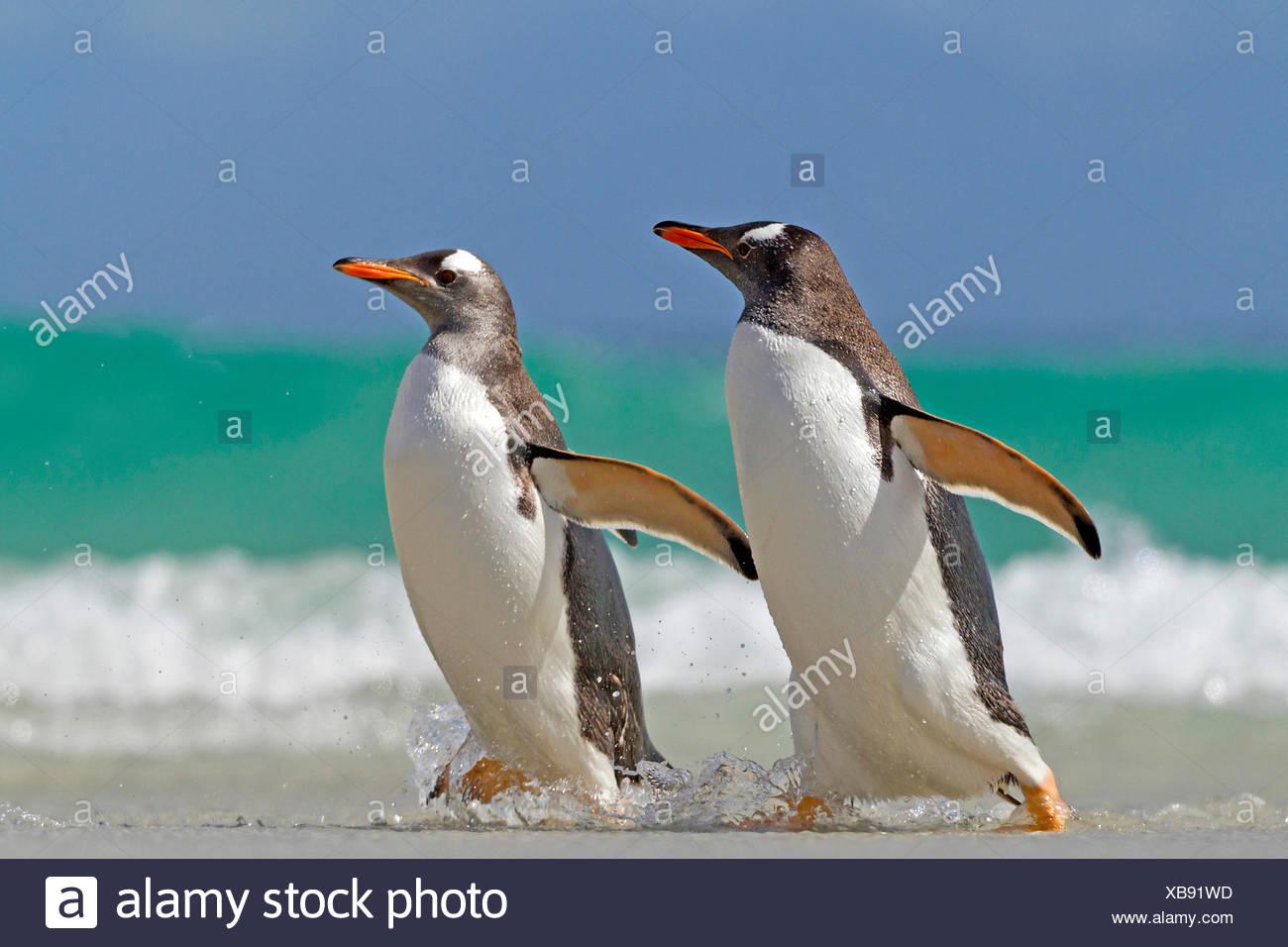 gentoo penguin (Pygoscelis papua), two penguins going on shore, Antarctica, Falkland Islands - Stock Image
