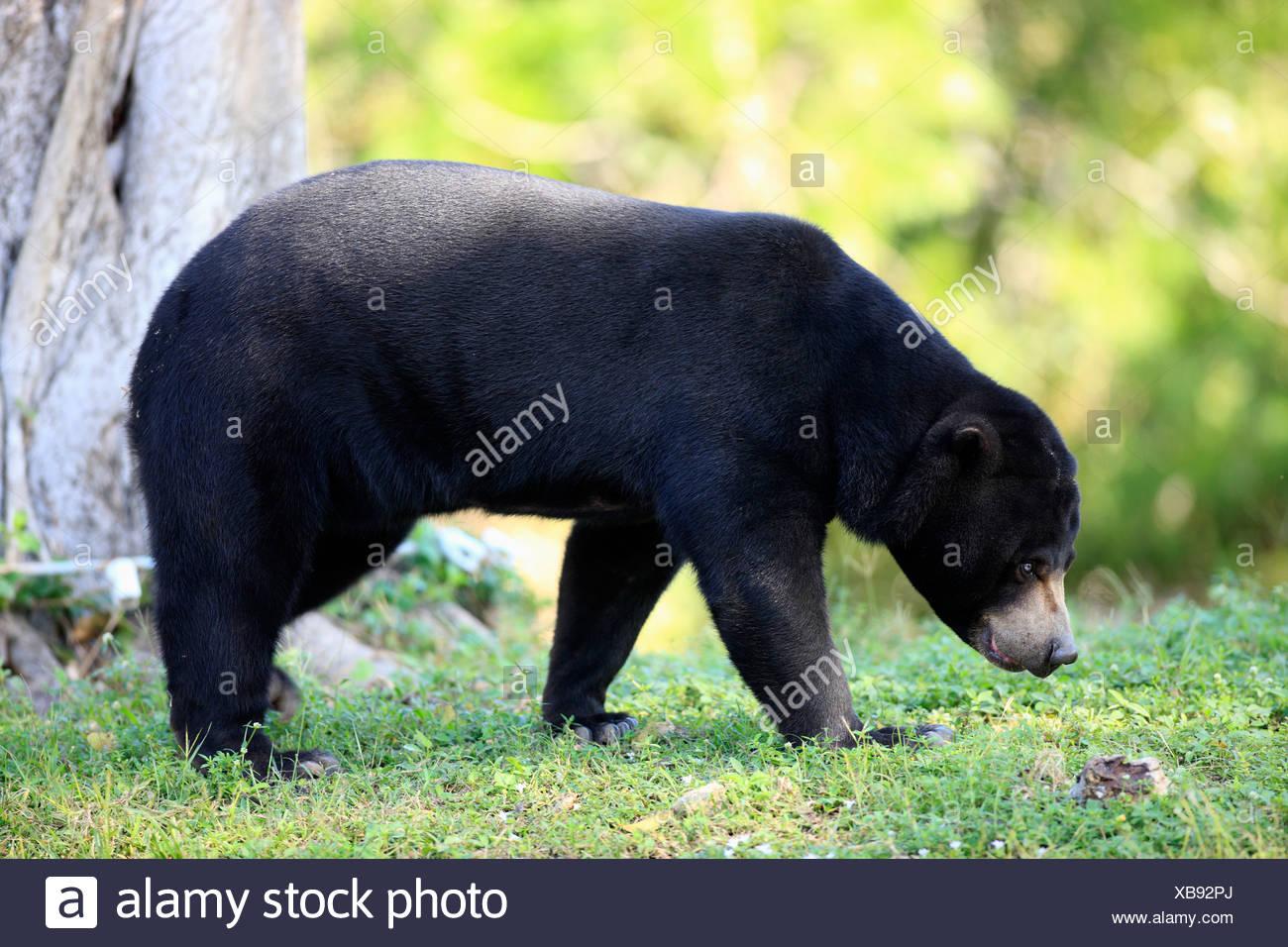 [Image: sun-bear-helarctos-malayanus-female-adul...XB92PJ.jpg]