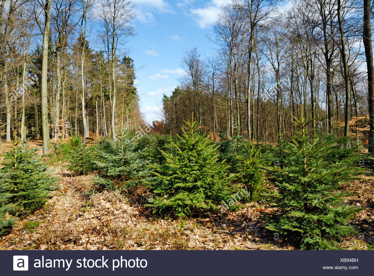 Norway spruce (Picea abies), young spruces in mixed forest, Germany, Schleswig-Holstein - Stock Image