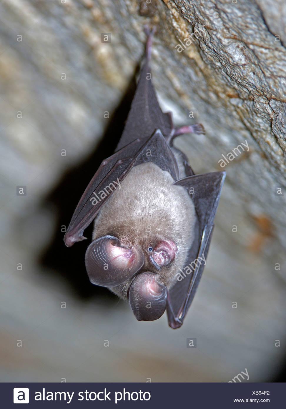 Vampire Bats Stock Photos & Vampire Bats Stock Images - Alamy
