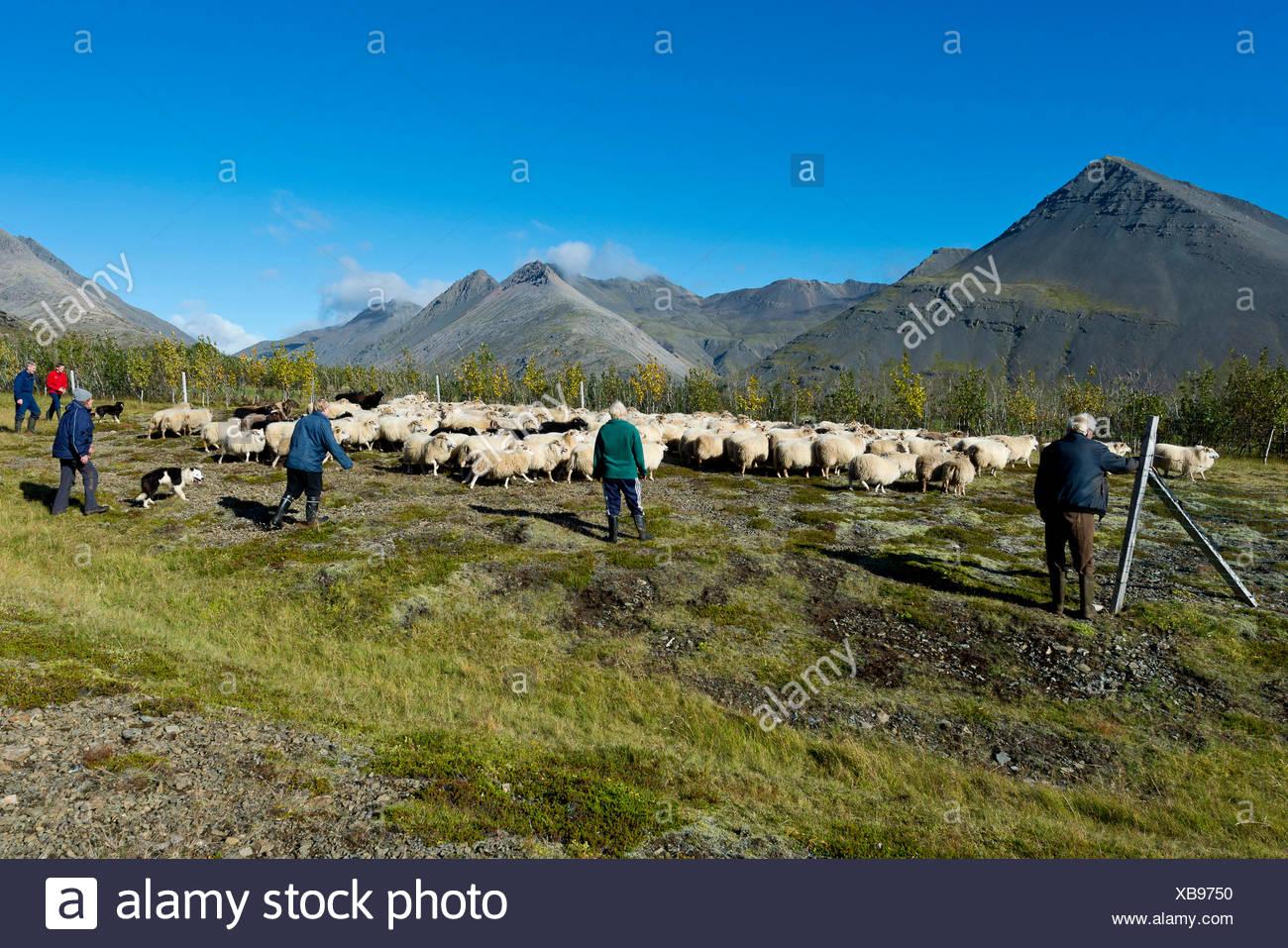 Flock of sheep being rounded up, sheep transhumance, near Höfn, Iceland - Stock Image