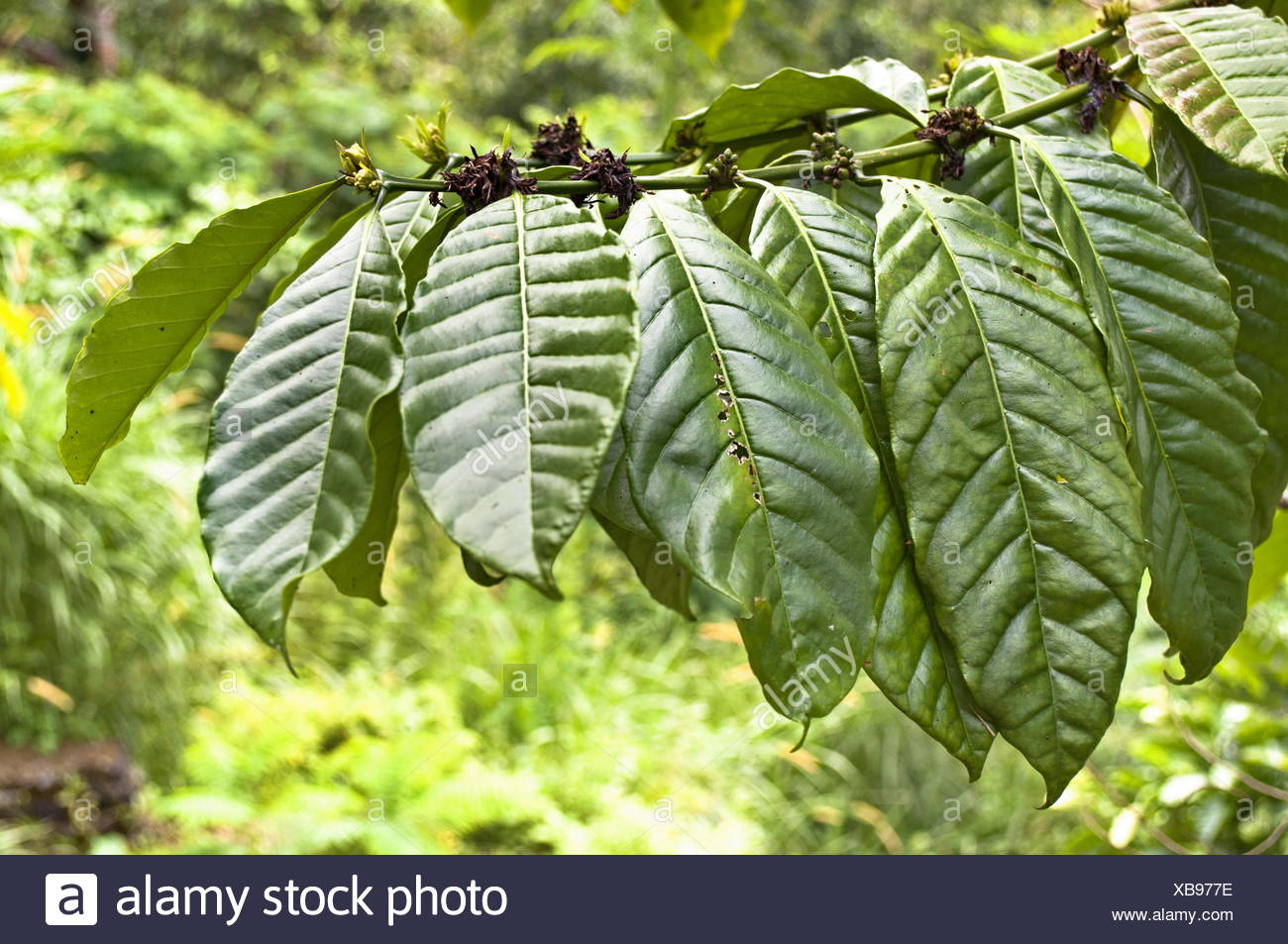 Fresh green tobacco leaves on forest background - Stock Image
