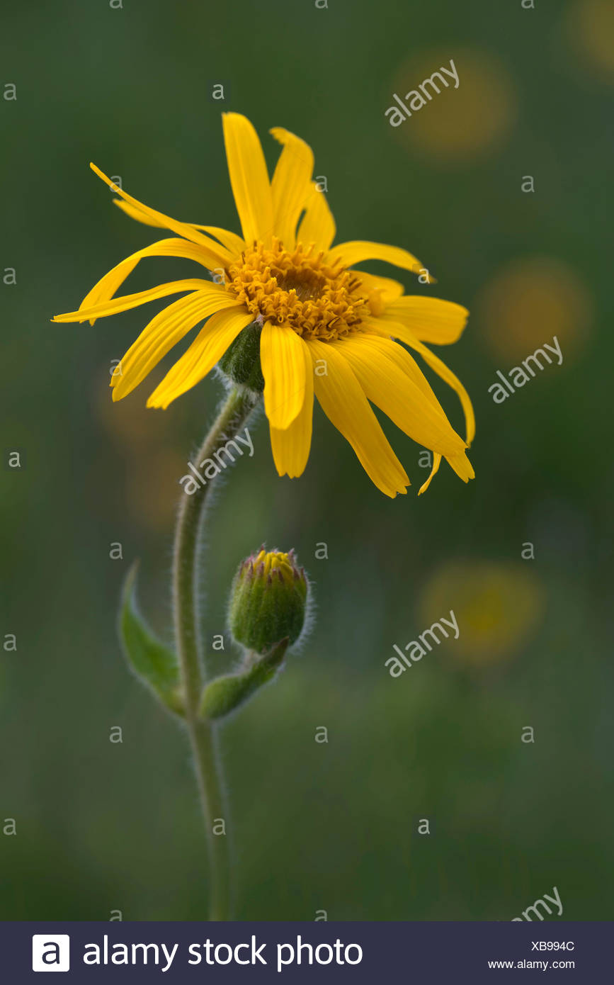 Leopard's Bane, Wolf's Bane, Mountain Tobacco or Mountain Arnica (Arnica montana), Naunz, Schwaz, Tyrol, Austria, Europe Stock Photo