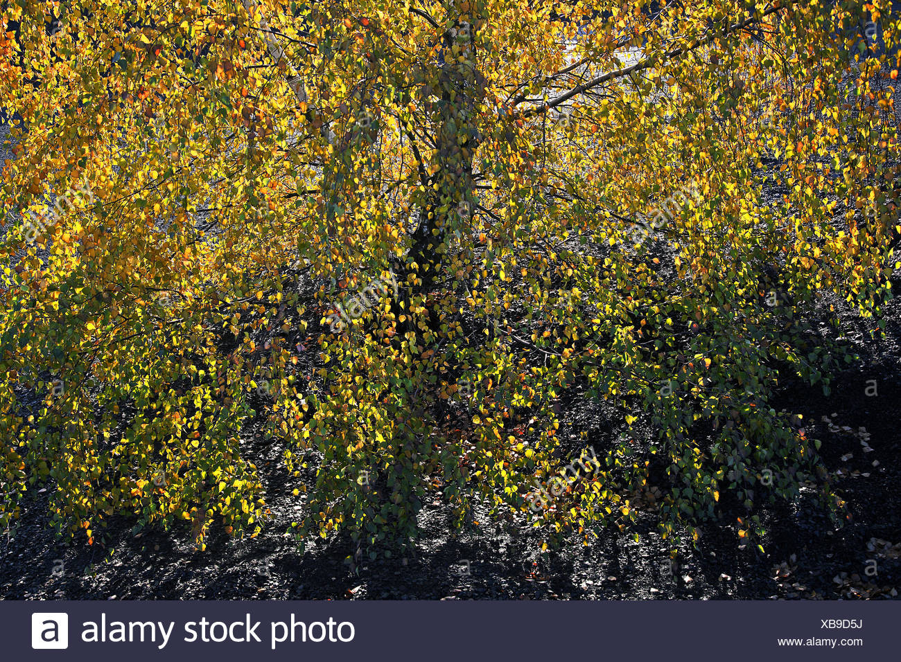 birch leaves in the back-light, Saarland, Germany - Stock Image