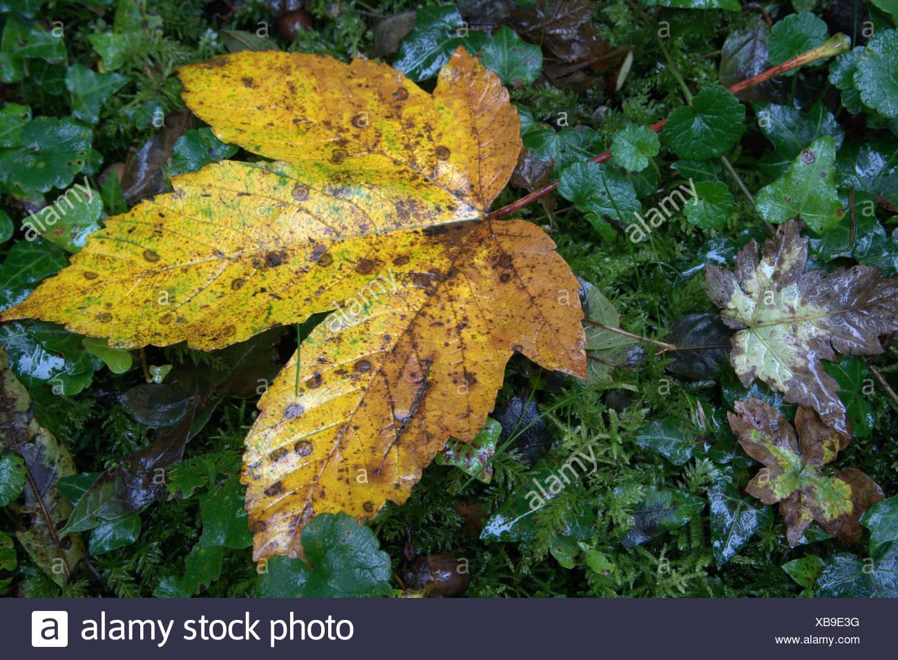 Austria, Vorarlberg, landscapes, Rheinholz, Rhine delta, forest, lowland forest, foliage - Stock Image