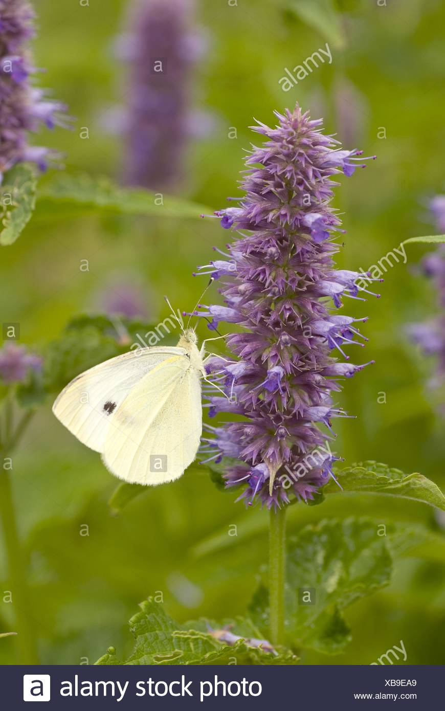 Anise hyssop, Blue giant hyssop (Agastache foeniculum, Agastache anethiodora, Agastache anisata, Stachys foeniculum), with Small white, Pieris rapae, Germany - Stock Image