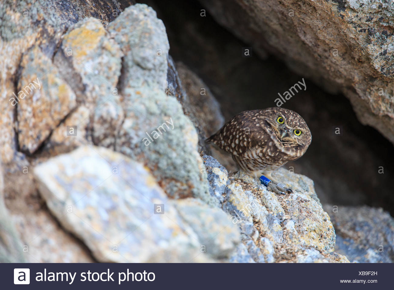 A burrowing owl, wearing a scientists' leg band, searches the surrounding rocks for prey. - Stock Image