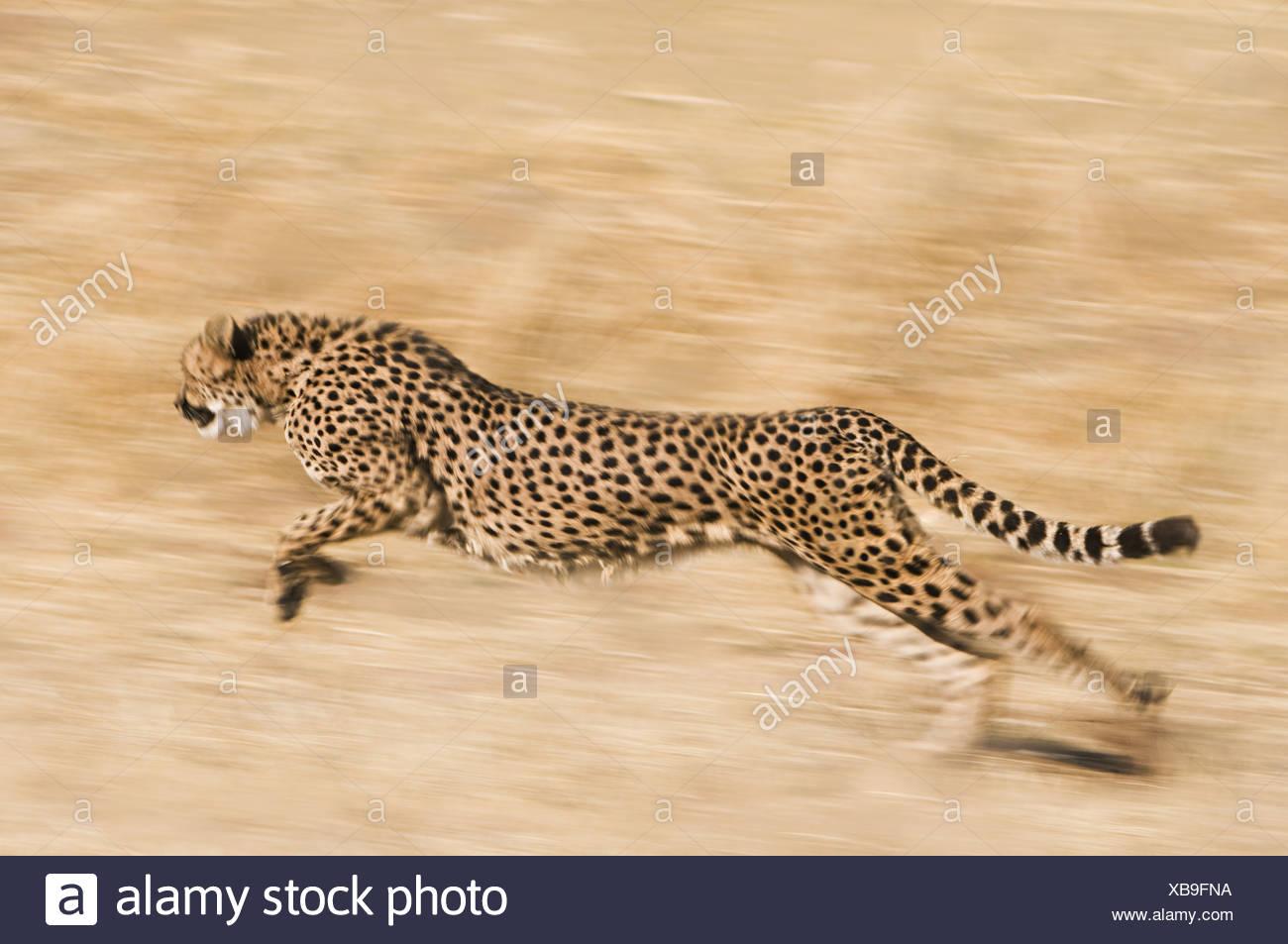 Namibia Cheetah Acinonyx jubatus running Conservation Fund - Stock Image