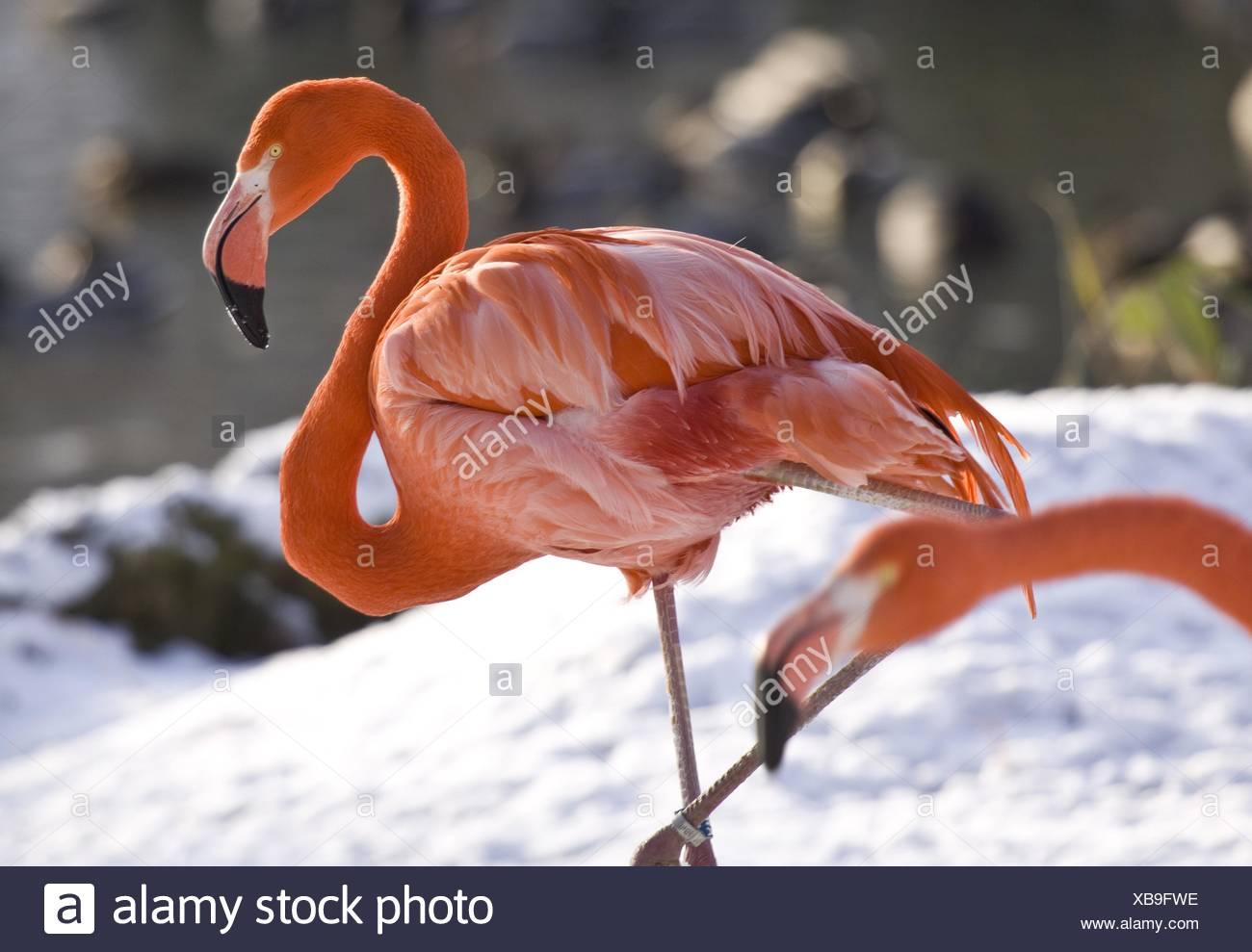 Cuba-Flamingo Stock Photo