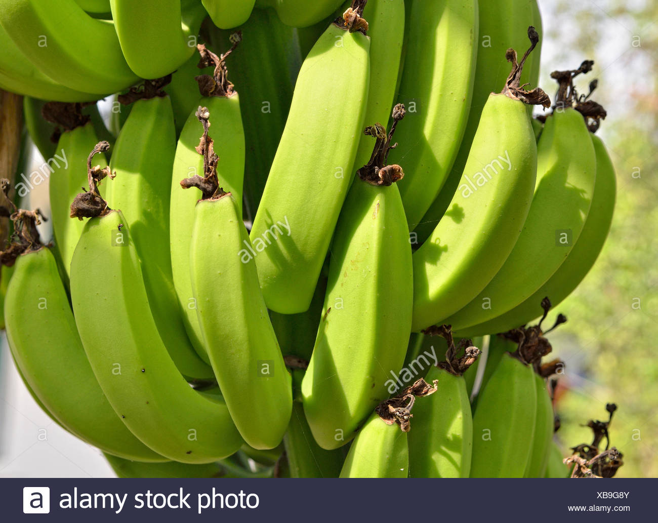 Bananas (Musa sp.), Apazapan, Veracruz, Mexico - Stock Image