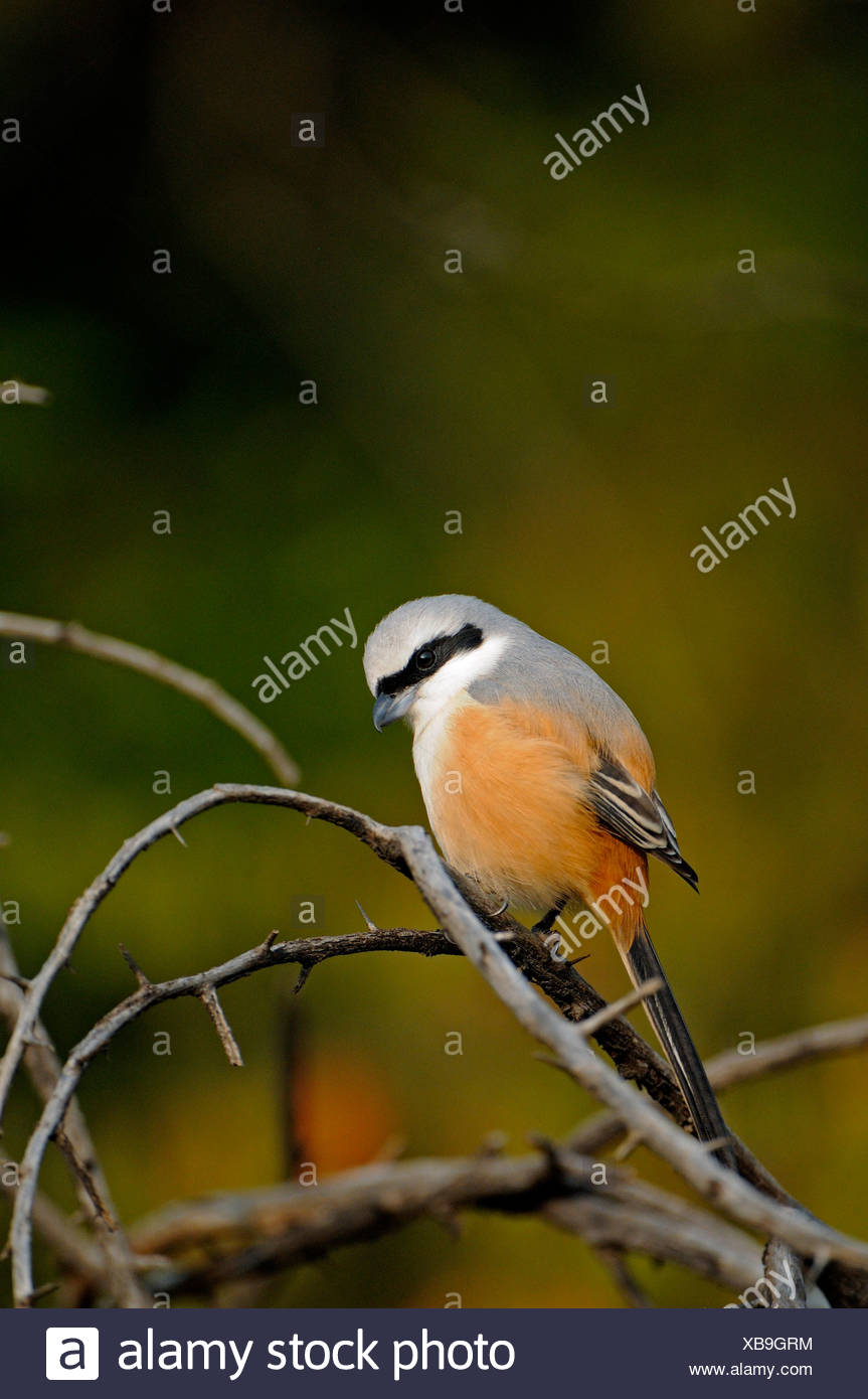 Long-tailed Shrike or Rufous-backed Shrike (Lanius schach) in the jungles of Ranthambore National Park, Rajasthan, India, Asia - Stock Image