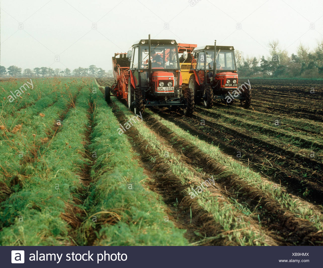 Zetor tractors with Graves Graves elevator lifting carrots in the Fens Cambridgeshire - Stock Image
