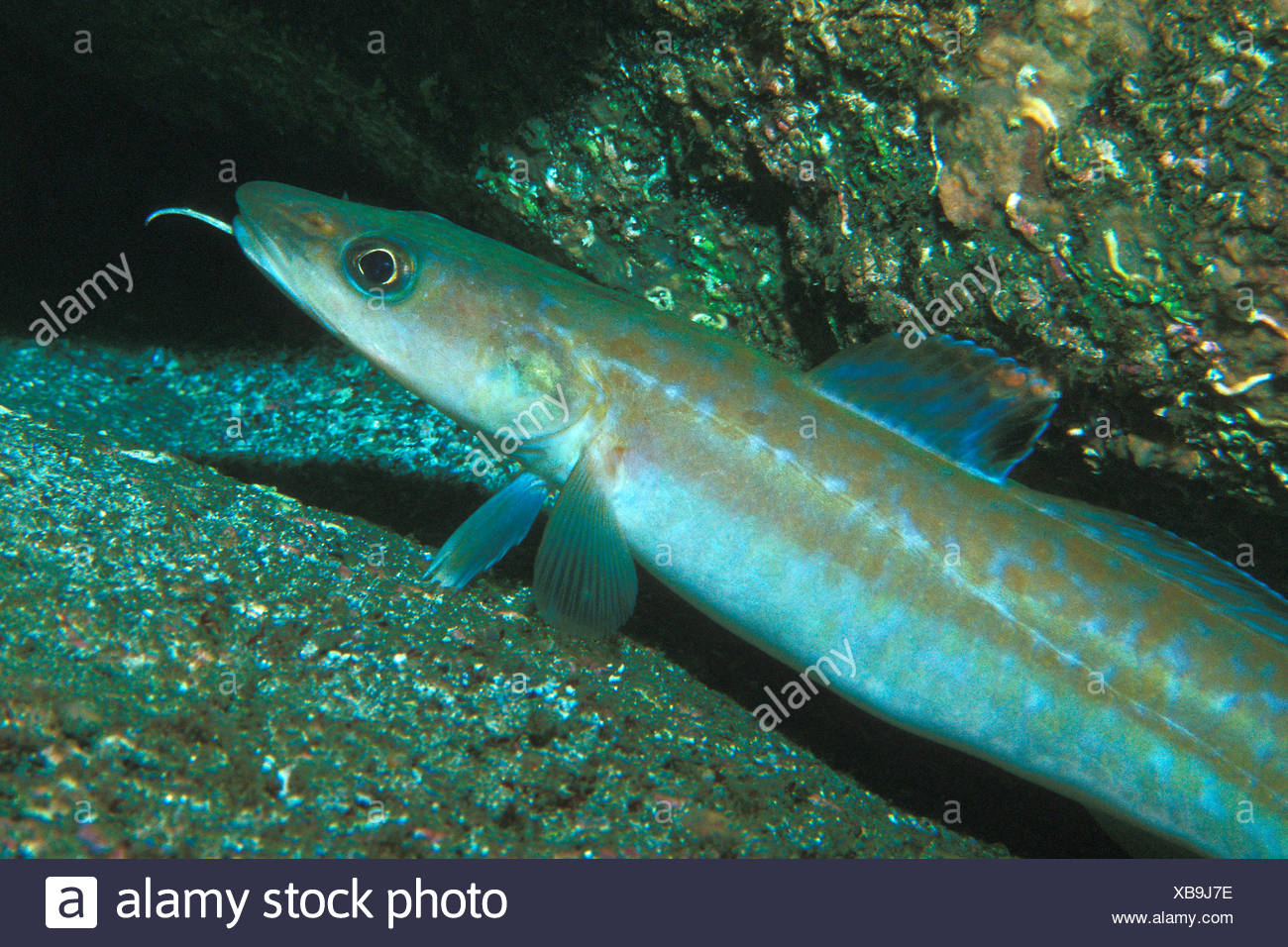 Ling Cod Stock Photos & Ling Cod Stock Images - Alamy