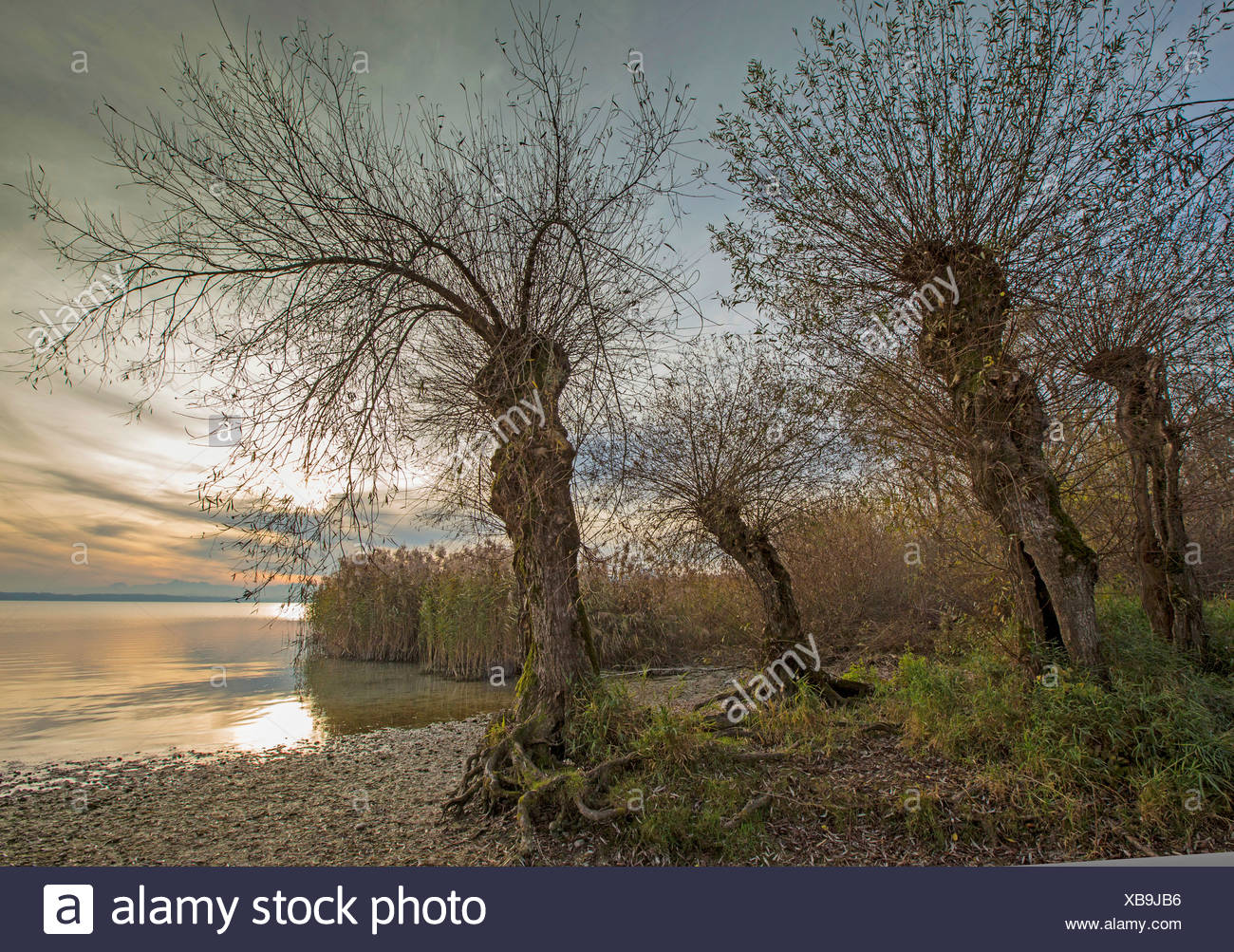 White willow (Salix alba), old pollarded willows at lake shore, Germany, Bavaria, Lake Chiemsee - Stock Image
