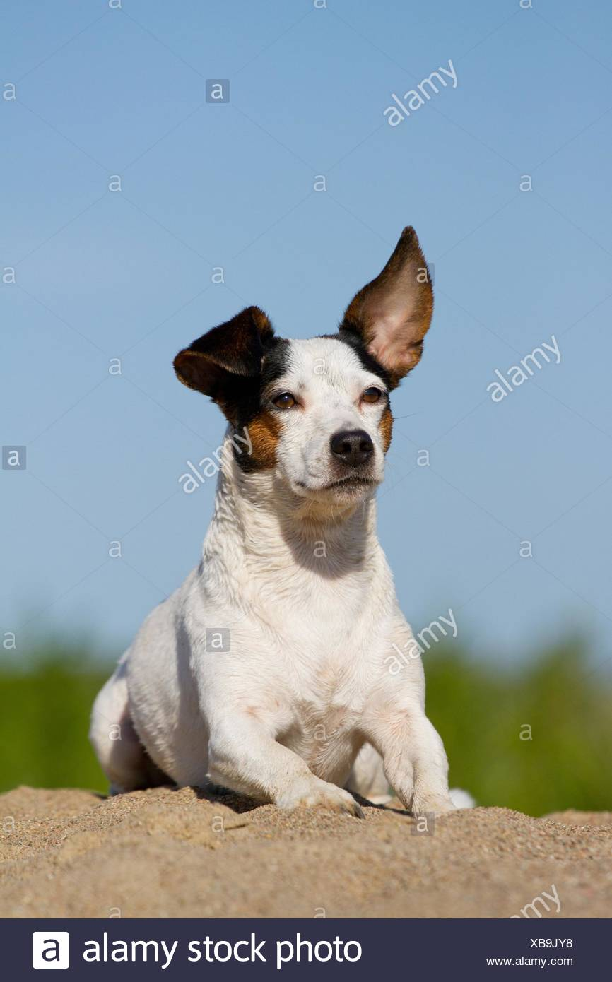 Russell Terrier Adult Dog Lying Stock Photos & Russell Terrier Adult ...