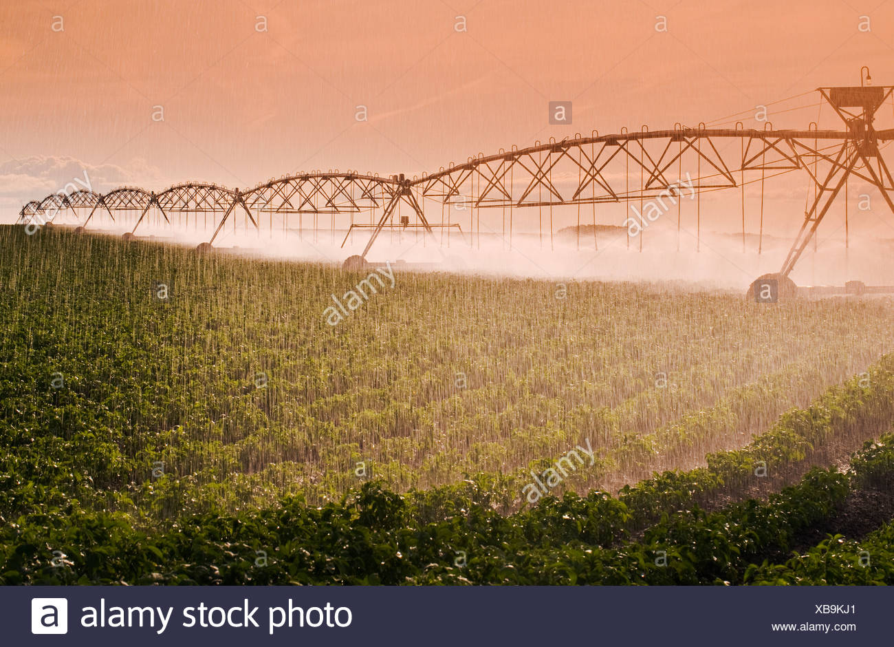 Agriculture - A center pivot irrigation system irrigates a field of mid growth potatoes / Tiger Hills, Manitoba, Canada. - Stock Image