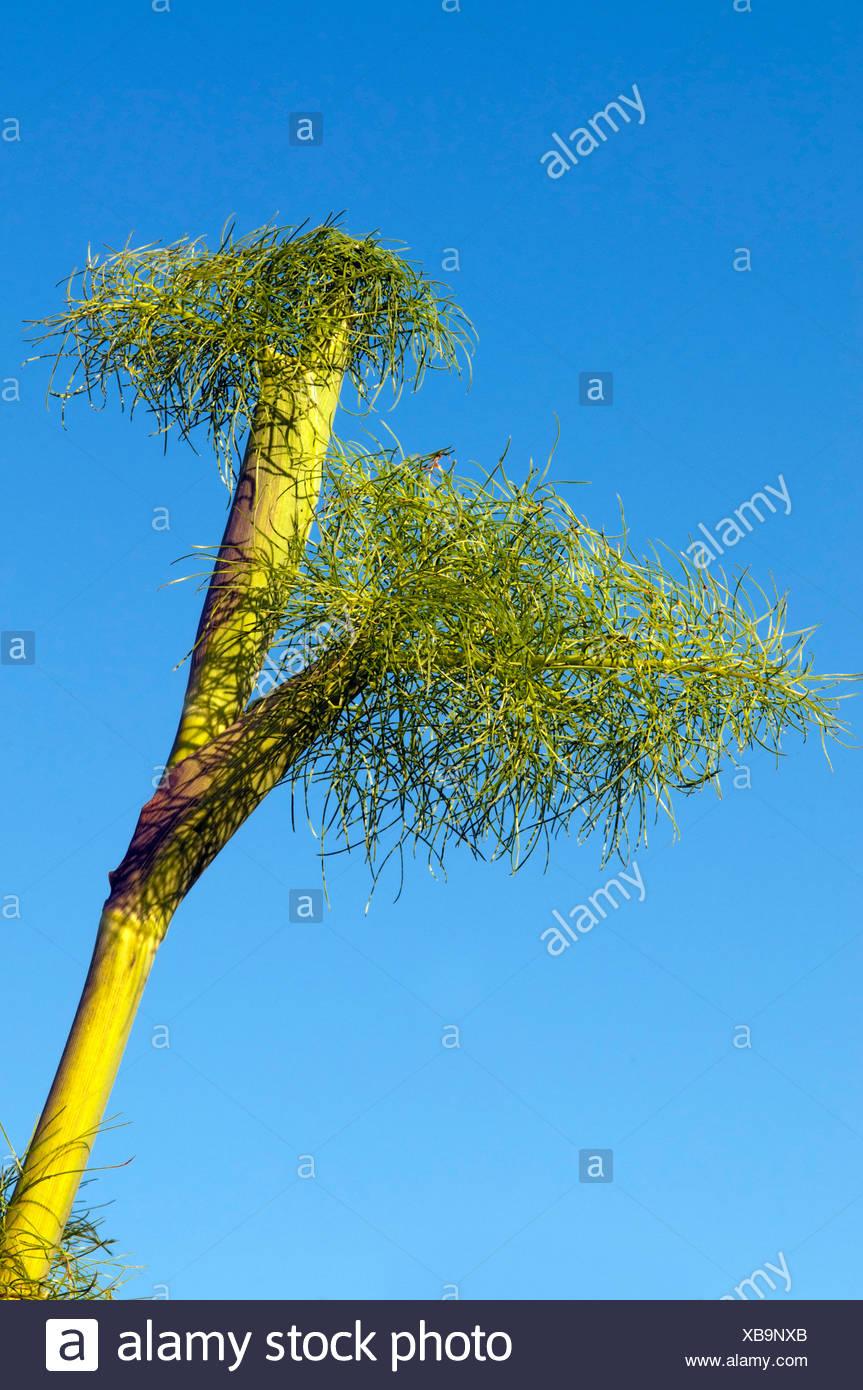 Giant fennel (Ferula communis), Sardinia, Italy, Europe - Stock Image