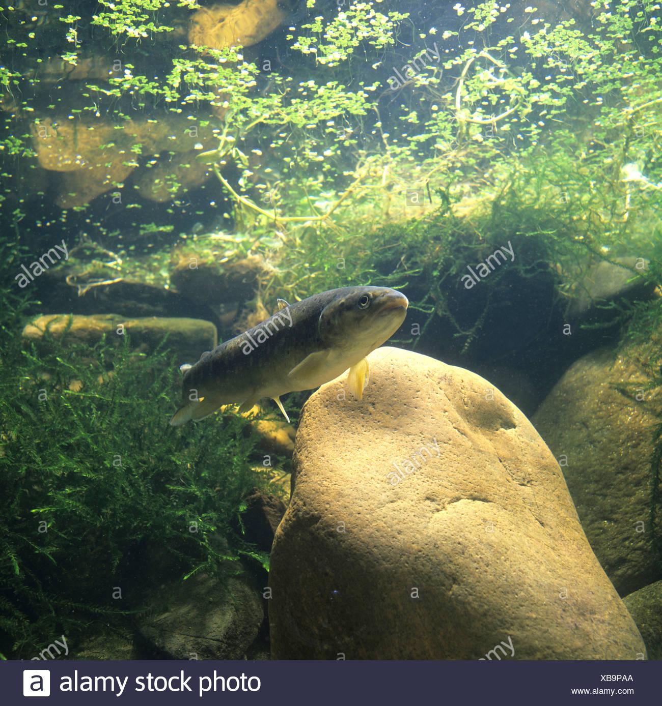 Brown trout (Salmo trutta fario) Stock Photo
